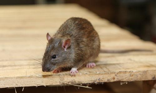 Nashville Rat Control